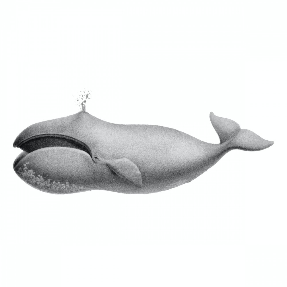 Vintage illustrations of Bowhead whale