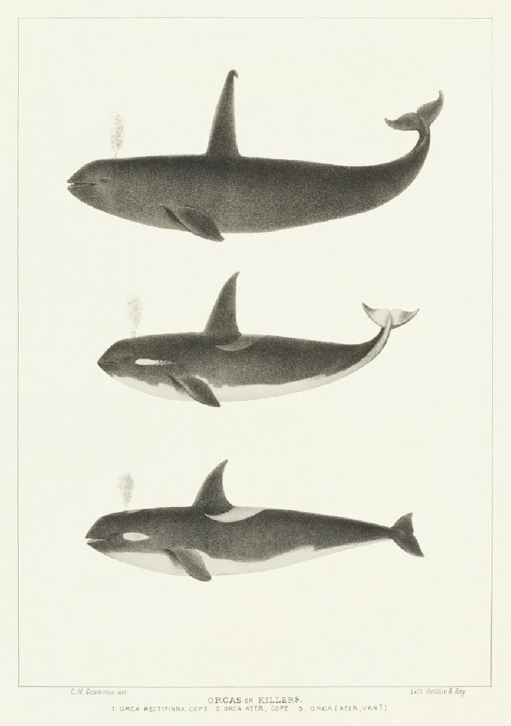 Orca or Killer whale (Orca rectipinna, Orca Ater)