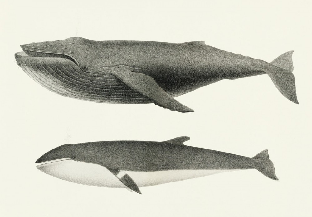 Vintage illustration of Humpback whale and Minke whale
